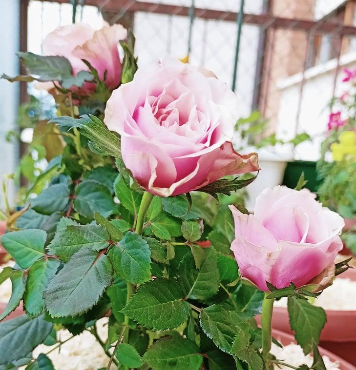 Coltivare la rosa in vaso ultimi cura e manutenzione
