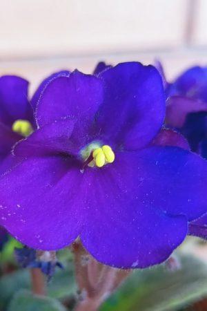 coltivare la violetta africana in piena terra consigli pratici