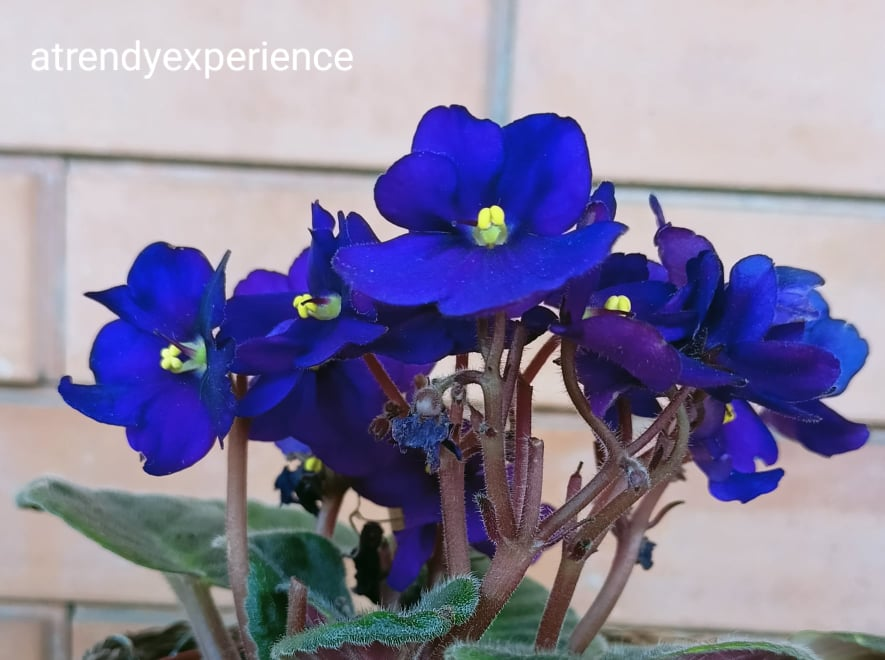 Violetta Africana Saintpaulia Ionantha cura manutenzione irrigazione consigli utili