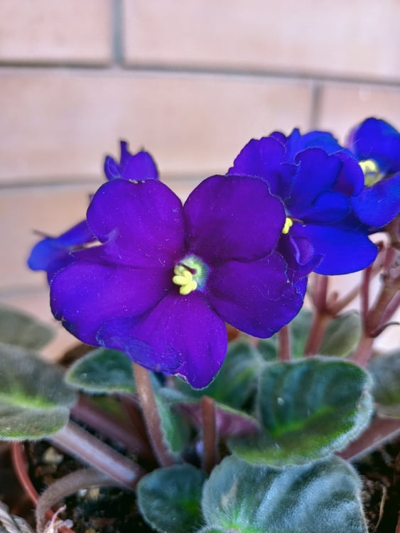 Violetta Africana Saintpaulia Ionantha