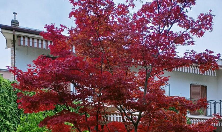 Acer Palmatum Acero Rosso Giapponese Come Coltivarlo In Vaso O Terra, Caratteristiche Cura Manutenzione Significato
