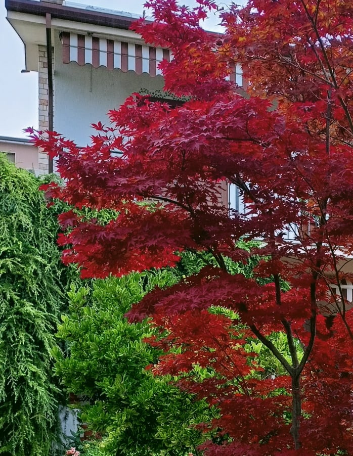 Decorare il giardino con l'acero rosso giapponese di atrendyexperience
