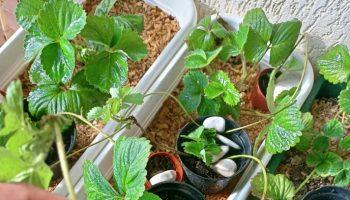 Tagliare o far crescere gli stoloni delle fragole?