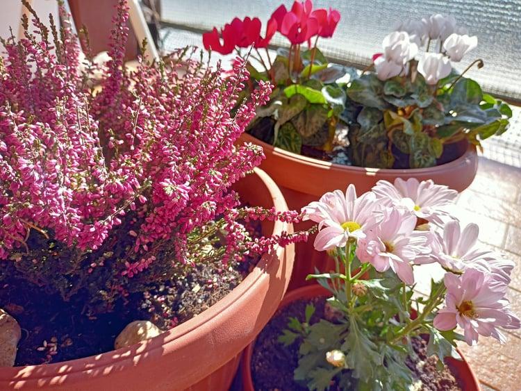 Fiori da balcone per l'autunno consigli finali