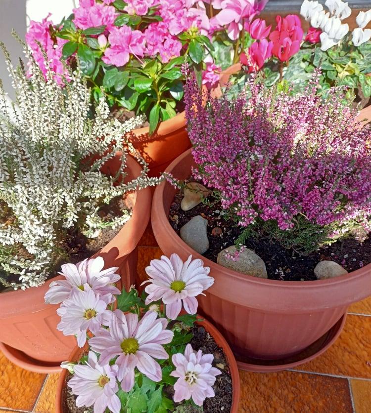 la calluna in vaso per l'autunno